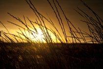 Erba d'oro retro-illuminati dal sole della sera, Colorado. — Foto stock