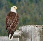 Mise au point sélective de l'aigle à tête blanche perché sur Dock en Alaska — Photo de stock
