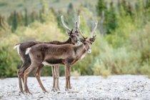 Messa a fuoco selettiva delle renne nel Parco nazionale di Denali, Alaska, Usa — Foto stock