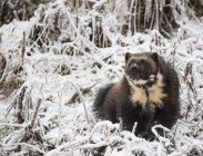 Vista frontal de wolverine sentado sobre la nieve, Haines, Alaska, Estados Unidos - foto de stock