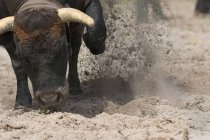 Cow Kicking Up Sand With Its Forelegs During A Traditional Swiss Cow Fight — Stock Photo