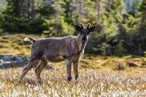 Caribù di terreno boscoso vitello accanto al lago di ametista in Parco nazionale Jasper, Canada — Foto stock