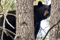 Black bear hiding behind trees in Montana — Stock Photo
