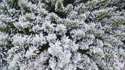 Top view of forest of Spruce covered with snow and frost — Stock Photo