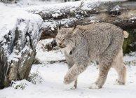 Portrait of lynx, Lynx canadensis, in snowy forest, Haines, Alaska, USA — Stock Photo
