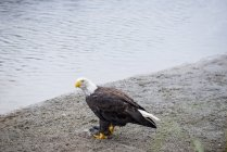Білоголовий орлан їдять рибу в Джуно, Аляска — стокове фото
