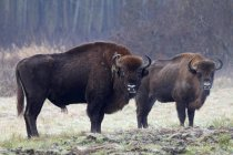 Bisons in Bialowieza National Park, Poland — Stock Photo