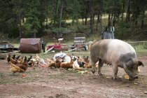 Flock Of Chickens And Pig On Ranch — Stock Photo