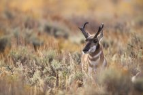 Commandes de pronghorn mâle dans Prairie dans le Parc National de Grand Teton — Photo de stock