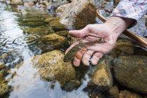 Mão de pessoa liberando uma pequeno selvagem truta em um riacho rochoso — Fotografia de Stock