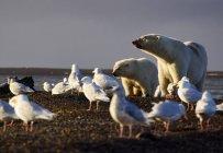 Жіночий білий ведмідь з дитинча і чайок, Арктиці Національна Притулок дикої природи, бартер острів, Аляска, США — стокове фото