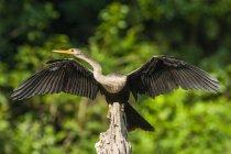 Anhinga, abrindo as asas na reserva ecológica Mamirau, Amazonas, Brasil. — Fotografia de Stock