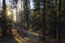 Alba di luce in una foresta con abete rosso nel cantone di Vaud, Svizzera — Foto stock