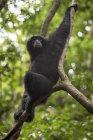 Siamang de Sumatra sentado en la rama de árbol en el bosque, Bukit Lawang, Sumatra, Indonesia - foto de stock
