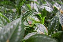 Caméléon parmi les Botanics à Waimea Valley sur la côte nord d'Oahu — Photo de stock