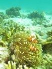 Variopinti Clown anemonefish — Foto stock