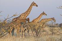 Ангольских жирафы, намибийские жирафы стоя в пустыне Намиб-скелет побережье Nati — стоковое фото