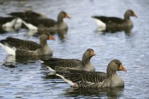 Greylag geese Anser anser in Daimiel National Park, Ciudad Real, Castilla la Mancha, Spain — Stock Photo