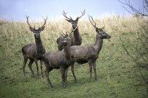 Groupe de red deer — Photo de stock