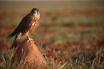 Close up view of Merlin, Falco columbarius, perched on rock — Stock Photo