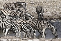 Равнины зебры Equus квагга группа пить, Намибии, Африка — стоковое фото