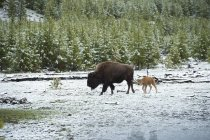 Bison and its young in the morning after a fresh dusting of snow in Yellowstone National Park, Wyoming — Stock Photo