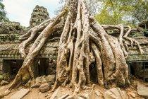 Albero che cresce sopra le rovine di Ankor Wat — Foto stock
