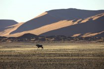 Gemsbok In typical desert habitat Namibian desert — Stock Photo