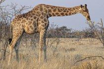Жираф, питание растений из ветви дерева на Каоколенд, пустыня Намиб, Африка — стоковое фото