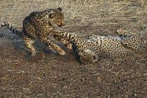 Chiuda sulla vista di Cheetas, Acinonyx Jubatus, che giocano insieme al Parco nazionale di Etosha, Namibia — Foto stock