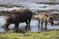 Nahaufnahme von Warzenschweinen, phacochoerus africanus,, moremi, okavango delta, botswana, afrika — Stockfoto
