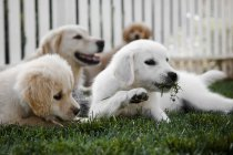 Group of young puppies playing in grass with mom in background — Stock Photo