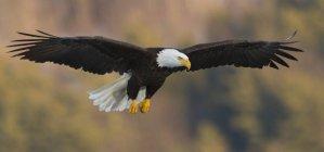 Bouchent la vue de American aigle à tête blanche Haliaeetus leucocephalus en vol près du lac de Maine central — Photo de stock