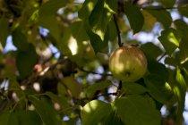 Apple nell'albero nel tardo autunno nel frutteto di mele — Foto stock