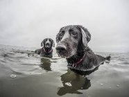 Two dogs play in the water of the pacific ocean at Pacific Beach, WA — Stock Photo