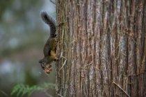 Petit écureuil avec de la nourriture sur un arbre dans les bois de Squamish, Canada — Photo de stock