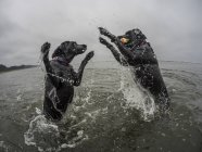 Selective focus of two dogs playing with ball in water — Stock Photo