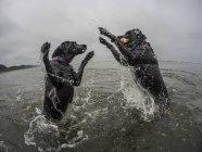 Foco seletivo de dois cães a brincar com a bola na água — Fotografia de Stock