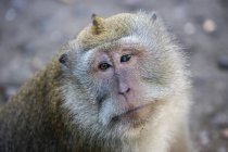 A macaque monkey with two different eyes at the Sacred Monkey Forest in Ubud, Bali, Indonesia — Stock Photo