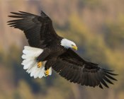 Close up view of American bald eagle Haliaeetus leucocephalus flying above Central Maine lake — Stock Photo