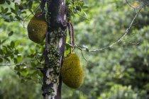 Due Catale appeso a un albero a Bali, Indonesia — Foto stock
