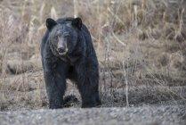Черный медведь, стоя на стороне Аляска шоссе — стоковое фото