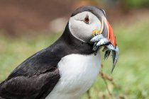 Close-up shot of Puffin with lot of fish in beak — Stock Photo