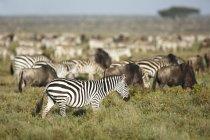Зебр і антилоп гну, Національний Парк Серенгеті, Танзанія стада — стокове фото