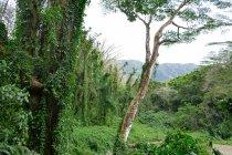 Живописные выстрел с пышной растительностью вдоль Маноа водопада тропа в Оаху Гавайи — стоковое фото