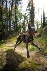 Aventure de chien en cours d'exécution dans la forêt pendant la journée, Mogollon Rim, Arizona, é.-u. — Photo de stock