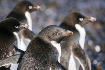 Close-up shot of Group of penguins in Antarctica — Stock Photo