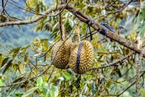 Дуриан плоды, прикрепленной к ветке с лентой — стоковое фото