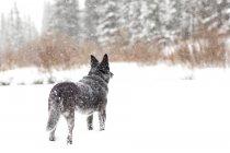 Chien Blue heeler se penche sur la forêt au cours de la tempête de neige — Photo de stock