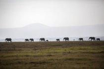 Manada de elefantes na planície em Parque Nacional Amboseli, no Quênia — Fotografia de Stock